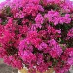 母の日プレゼント 2017年の人気の『鉢植えの花』はコレ!7種類【花言葉を添えて】