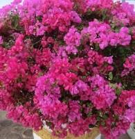 母の日-鉢植え-ギフト-プレゼント