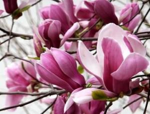 木蓮-紫木蓮-白木蓮-マグノリア-magnolia